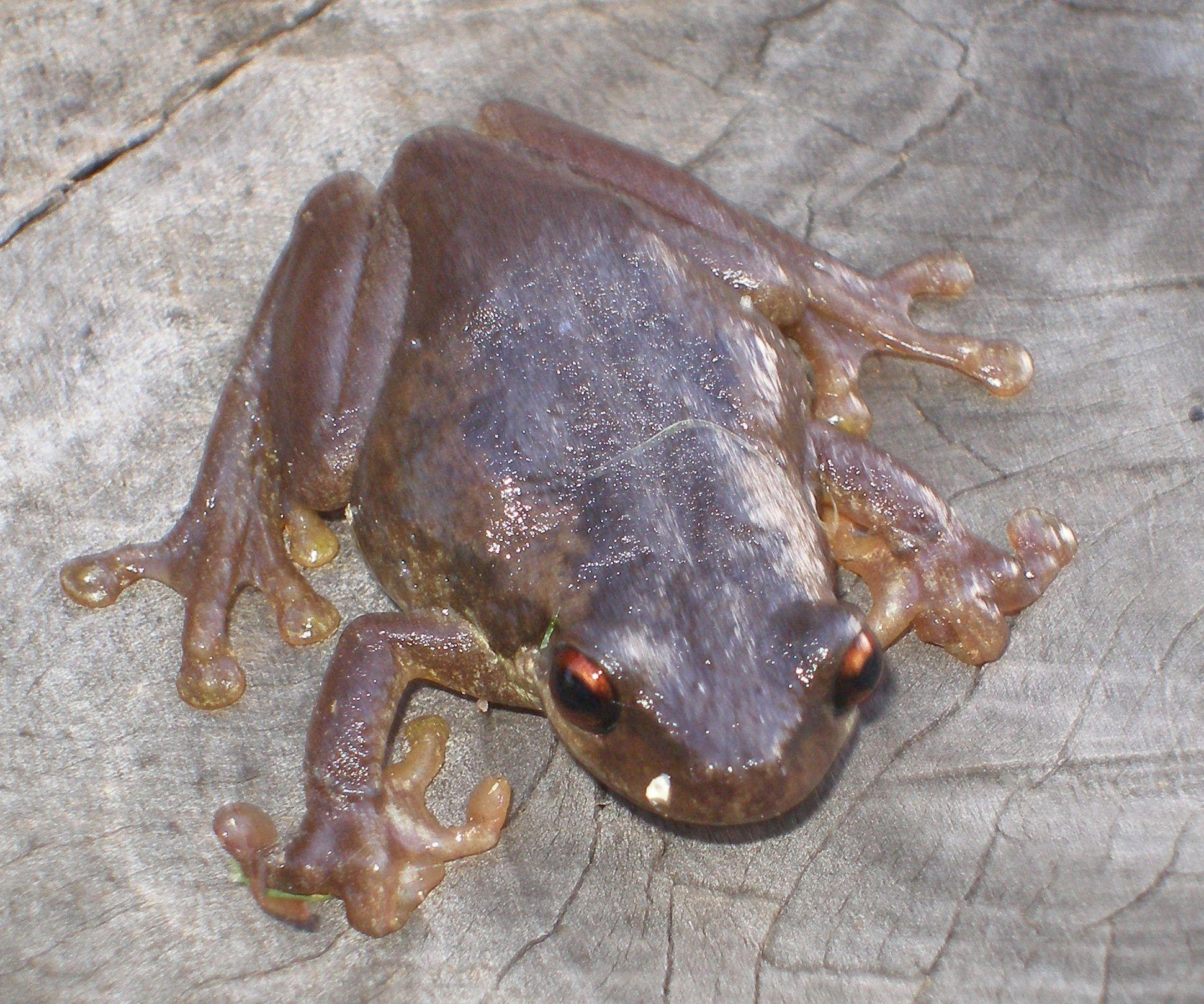 BleatingTreefrog