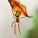 Leaf-spider.jpg gallery thumbnail
