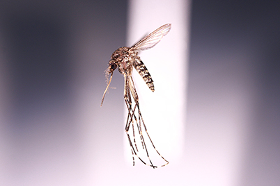 Aedes vigilax, the second of two most commonly found mosquito's in Liverpool.